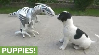 大丈夫、みんなでかかれば怖くないぞ!恐竜ロボットに闘いを挑むジャックラッセルテリアの子犬たち