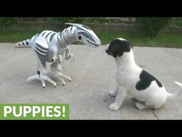 Fearless litter of puppies take on scary robot