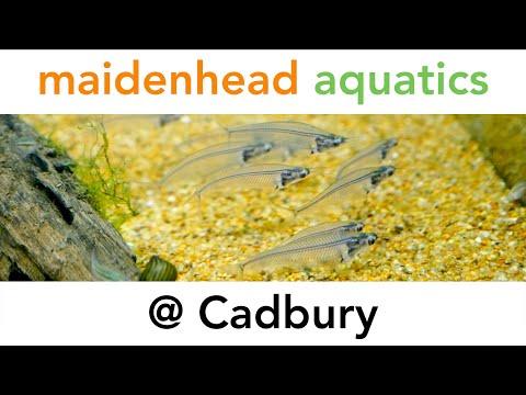 Maidenhead Aquatics @ Cadbury