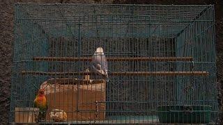 Ramai Kicauan Lovebird (Lovebirds Sounds) #30