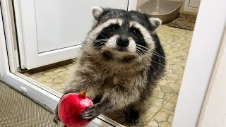 RACCOONS REACTION TO POMEGRANATE / Will lynxes have kittens?