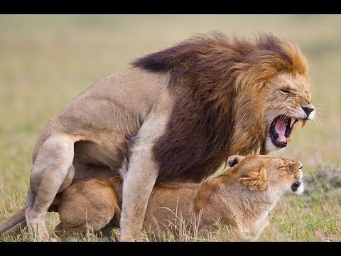 Африканские животные  - Лев Спаривание,  Дикие животные - Видео онлайн