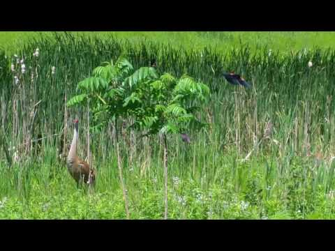 Sand Hill Cranes with chick being attacked by Red Winged Blackbirds