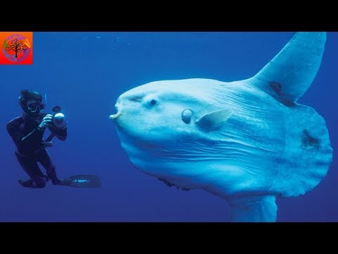 Ocean Sunfish - Animal Of The Week