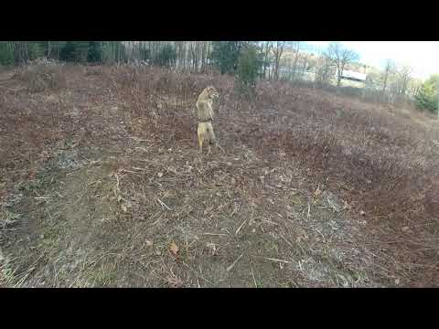 Trapping Fox & Coyotes in PA Season 4 Ep. 4 2018-19