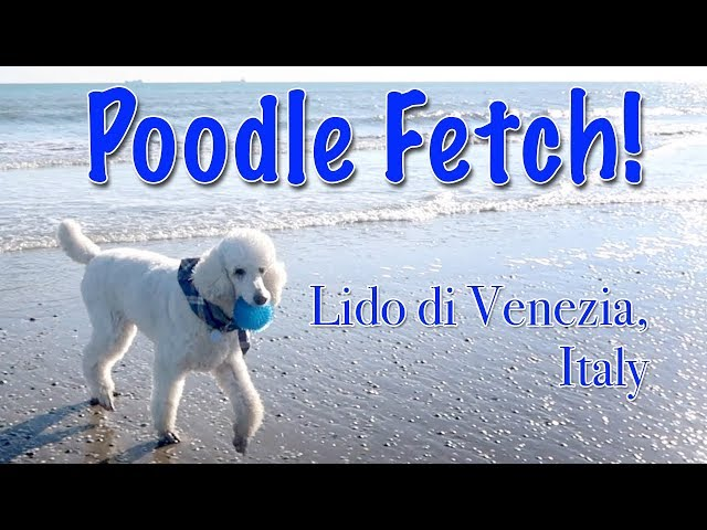 Poodle Fetch on the Beach in Italy