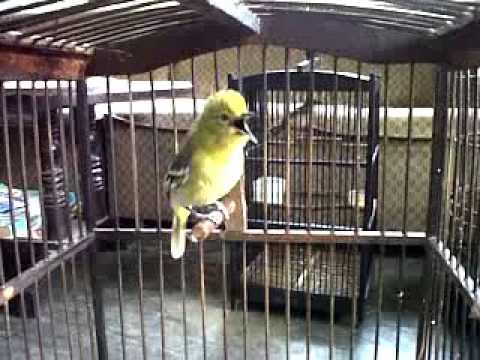 Burung cipow gacor owor owor....mental baja...