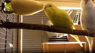 """Выставочные волнистые попугаи """" Чехи"""" Обычный вечер"""