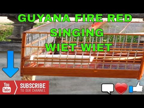 GUYANA FIRE RED SINGING WIET WIET