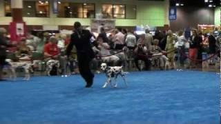 Central Florida Kennel Club Dog Show (orlando, Fl 12/16/11) - Dalmatian Best Of Breed Judging