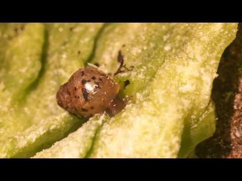African snails (Lissachatina fulica) in spotlight