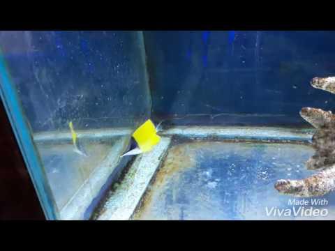 Longnose Butterflyfish Eating Pelletfood