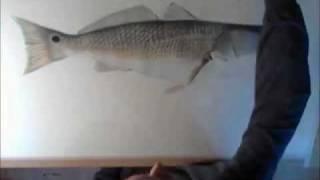 Redfish drawing timelapsed (Adam Nicholas Artworks)