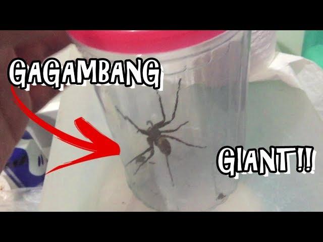 SPIDER HUNT ALFONSO CAVITE(BIGGEST SPIDER/CAMP BENJAMIN RESORT)