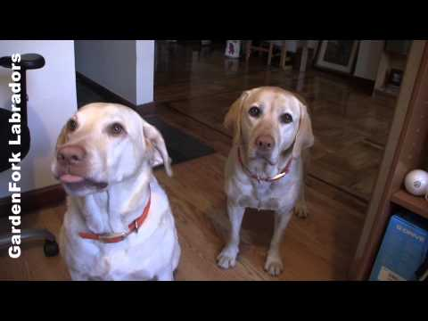 Dinner Time Shakedown! Puppies want food - GardenFork Labradors