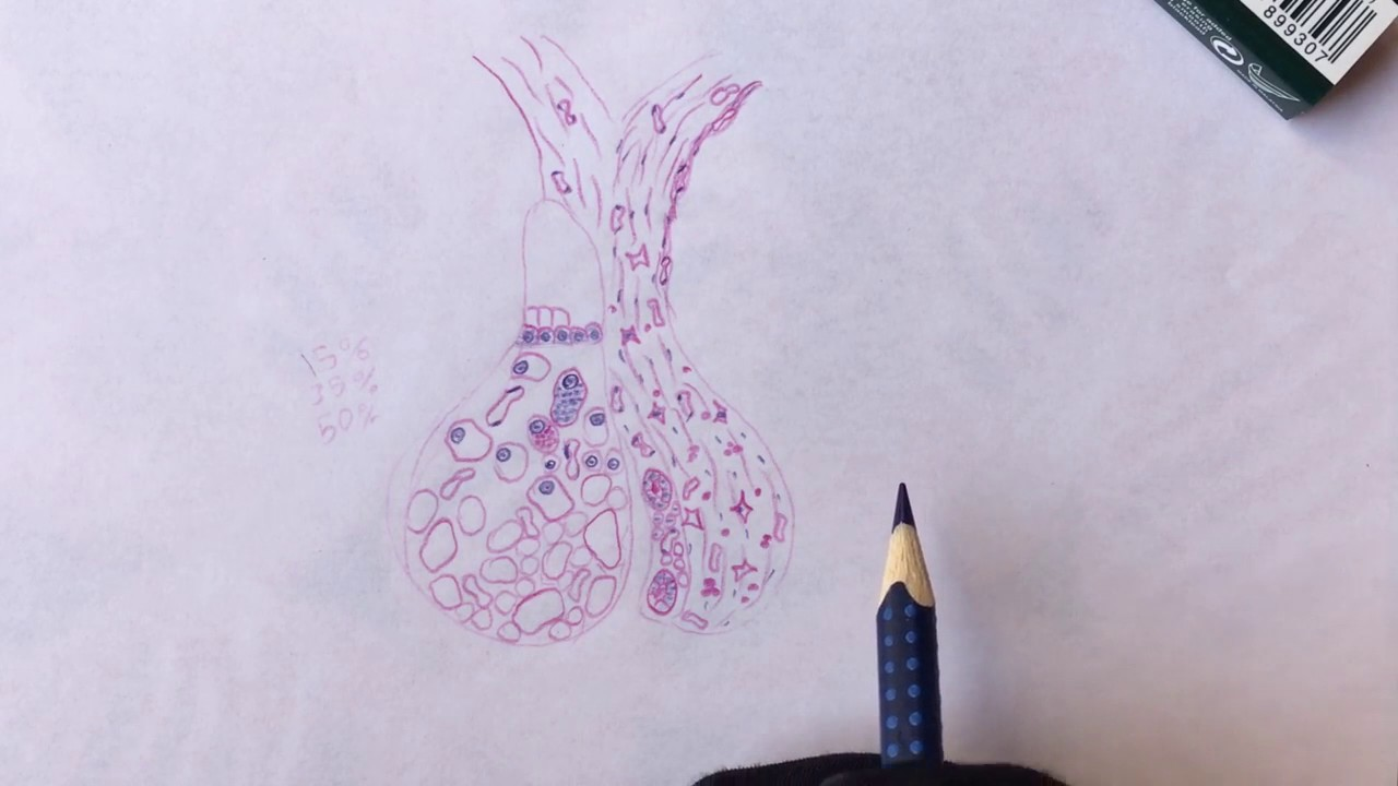Endocrine Chapter Drawings Histology Youtube