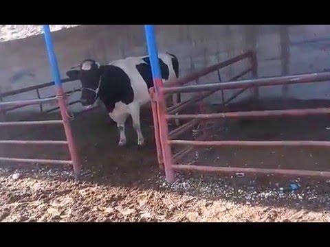 inek sesi videosu sesleri inek böğürmesi