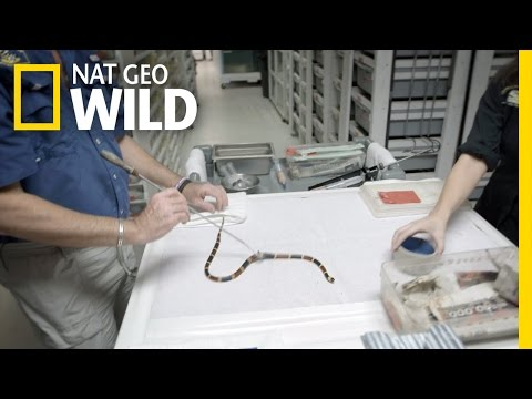 The Coral Snake Wrangler | United States of Animals
