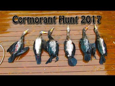 Skarvejakt 2017 Sjøfugljakt - Cormorant Hunting 2017 Waterfowl Hunting