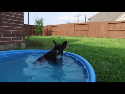 PuppyFinder.com : Sophie French Bulldog