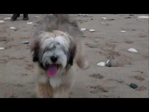 My Tibetan Terrier puppy on the beach