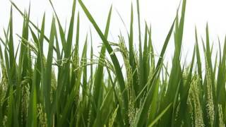 Do You Know Rice Tree  Flower  and Seed