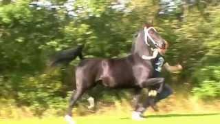 Black Dutch Harness Horse mare Isanita