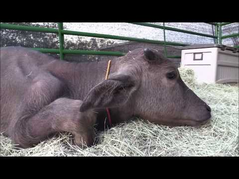 The Water Buffalo Who Couldn't Get... (Vet again & it's not good) VLOG