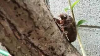 セミの幼虫.