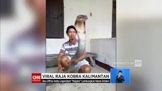 Viral! Raja Kobra Kalimantan Super Besar