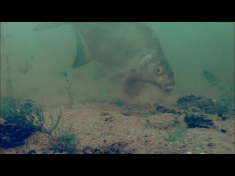 КАК КОРМИТСЯ ЛЕЩ или СТАЯ ЛЕЩА НА КОРМЕЖКЕ Подводное видео Рыбалка 2018