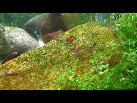 how-to-predict-when-red-cherry-shrimp-will-give-birth-(all-neocaridina-species-)
