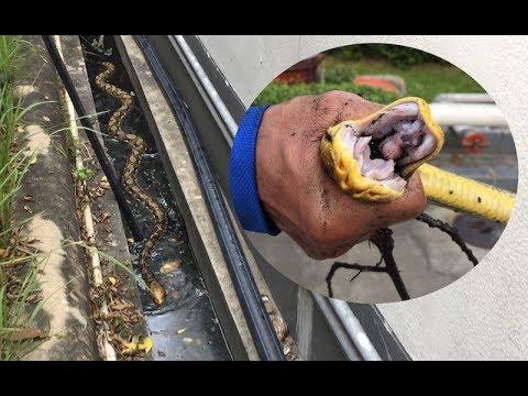 Python Swims Through Drain At Petrol Station