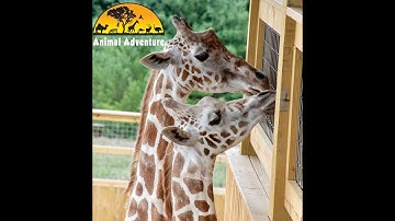 April the Giraffe & Tajiri - Giraffe Yard Cam - Animal Adventure Park