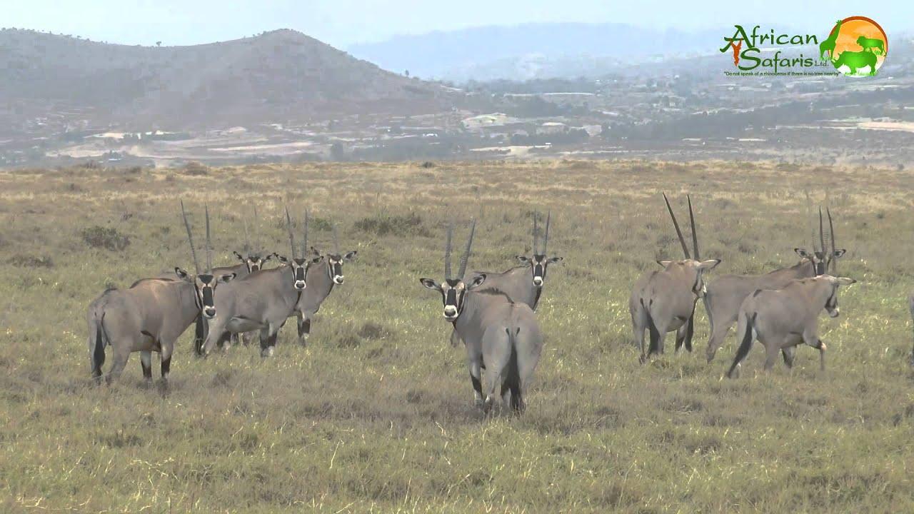 Beisa Oryx Lewa Conservancy Kenya Youtube