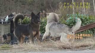 シャイなクロ君との交流です ここの野犬の雄たちはほとんどの飼い犬達よ...