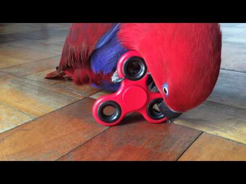 Eclectus Parrot Spins Fidget Spinner!!!!