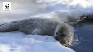 Seal Pup Eating Snow
