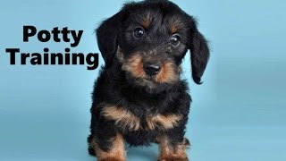 How To Potty Train A Dorkie Puppy - Dorkie House Training Tips - Housebreaking Dorkie Puppies Fast