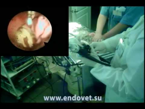 veterinary.-foreign-body-of-stomach-at-a-cat-(needle)