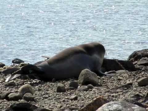7.- EL DESCANSO DE LOS ELEFANTES MARINOS - The rest of the elephant seals