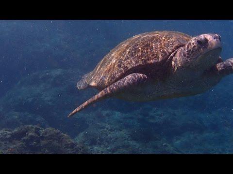 Amazing Ocean Turtle - South China Sea, 乌龟