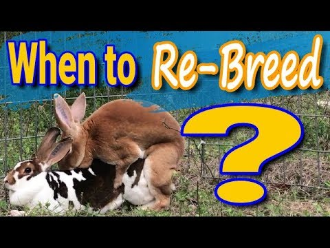 When To Re-breed Rabbits: How To Tips