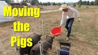 Paddock Shifting Our American Guinea Hog Pigs