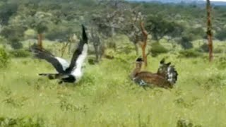 Secretary Bird Shows Off to World's Heaviest Flying Bird
