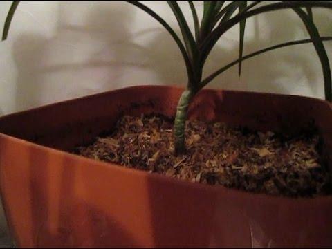 Грибные комарики-2. Комнатные растения. Поможет ли табак? Идеи – бижутерия)) Лещина, фундук!