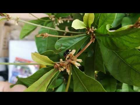 Pollination of Miracle berries' flowers by stingless bees