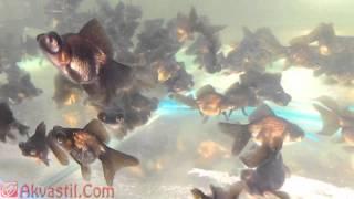 Золотая рыбка - форма Чёрный Телескоп. Аквариумные рыбки. Аквариумистика.