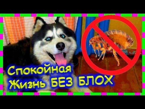 Как вывести блох у собаки и избавиться от них навсегда