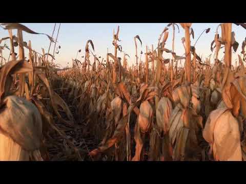 Уборка кукурузы 13 октября